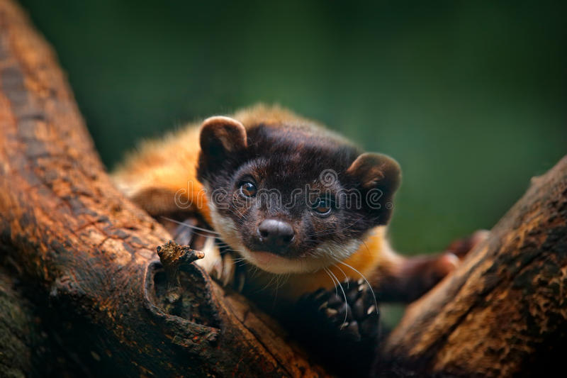 Yellow-throated marten, Martes flavigula, with clear green background. Wild Asia marten, India and China. Detail portrait. Small royalty free stock photos