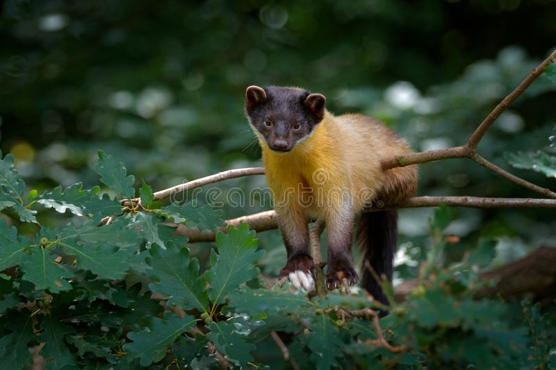 Yellow-throated marten, Martes flavigula, in tree forest habitat, Chitwan National Park, China. Small predator sitting in green ve. Getation. Beautiful brown stock images
