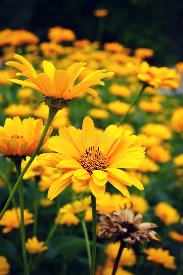 Download Yellow Tickseed Coreopsis Flowers Stock Photo