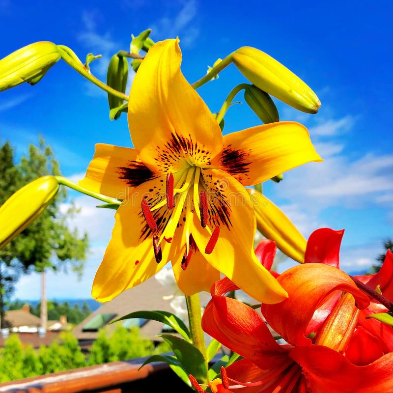 Yellow tiger lily stock photos