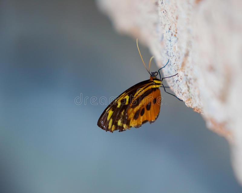 Yellow Tiger Longwing Butterfly stock image