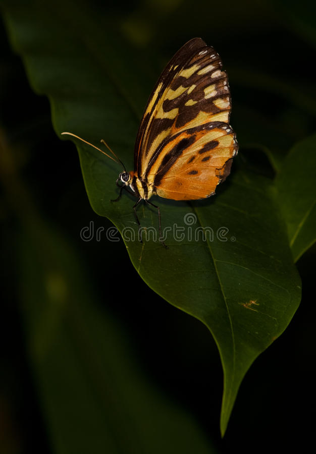 Yellow Tiger Longwing Butterfly stock photo