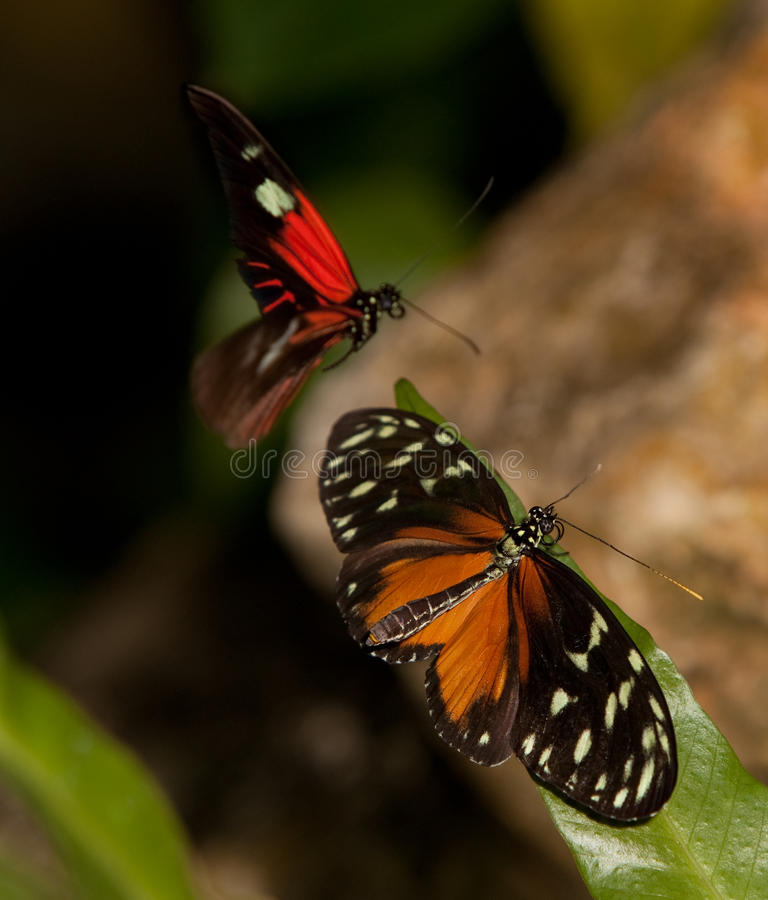 Yellow Tiger Longwing and Red Postman Butterflies stock photos