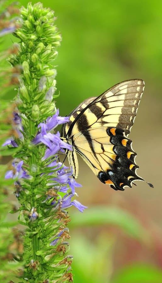 Yellow Tiger Swallowtail royalty free stock image