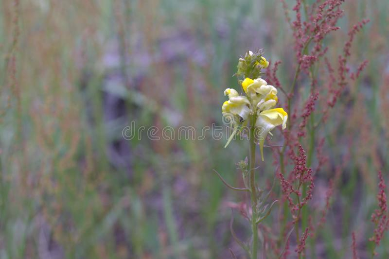 Yellow toadflax plant. Phase of birth flowers stock images