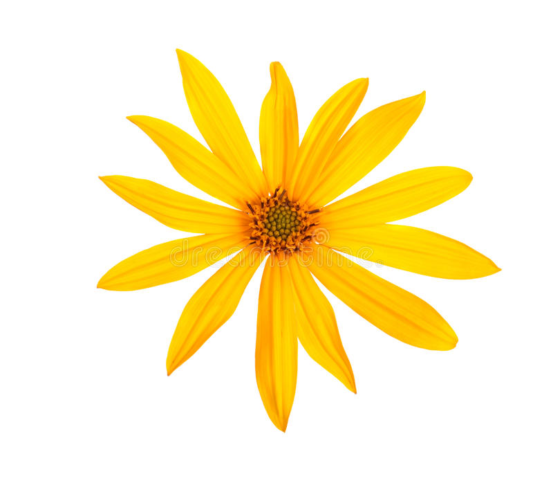 Yellow topinambour flower. Isolated on white background royalty free stock photo