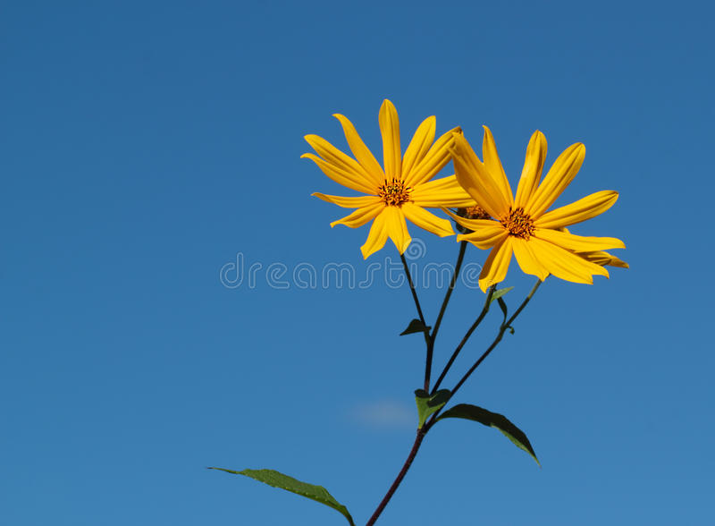 Yellow topinambour flower. Over the blue sky stock photos