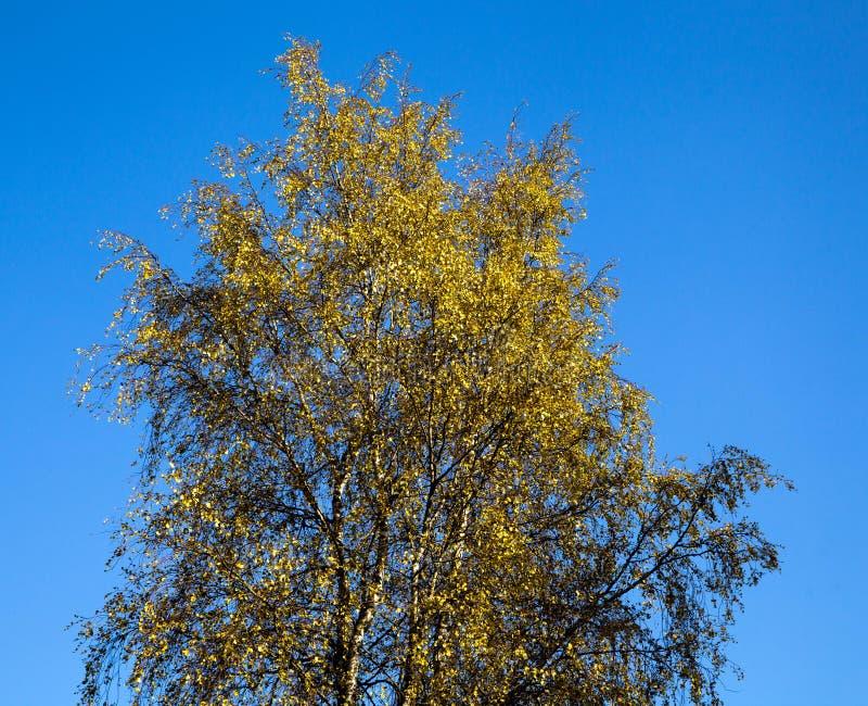 Yellow tree, season - autumn. Autumn landscape. Yellow tree against the blue sky, season - autumn. Autumn landscape stock photo