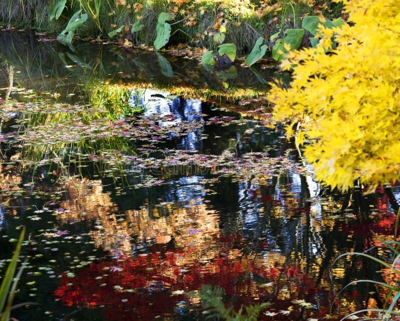 Yellow Tree Colorful Reflections Van Dusen Gardens stock photography