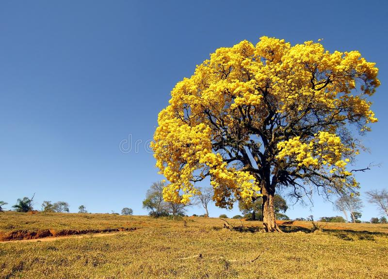 yellow tree covered in flowers. Handroanthus albus stock image