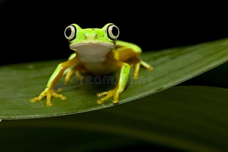 Yellow tree frog stock image