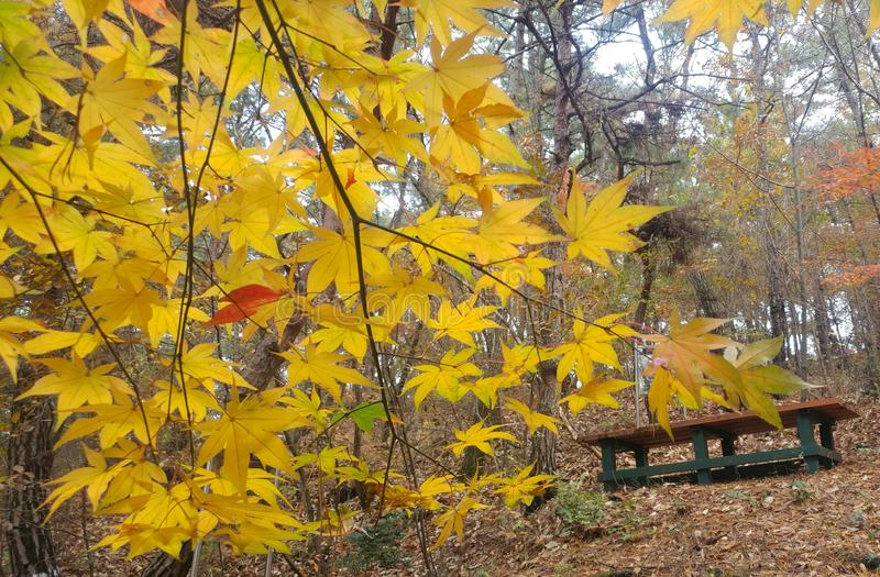 Yellow tree. In fron of a chiar in mountain.yellow maple .winter leaves royalty free stock image