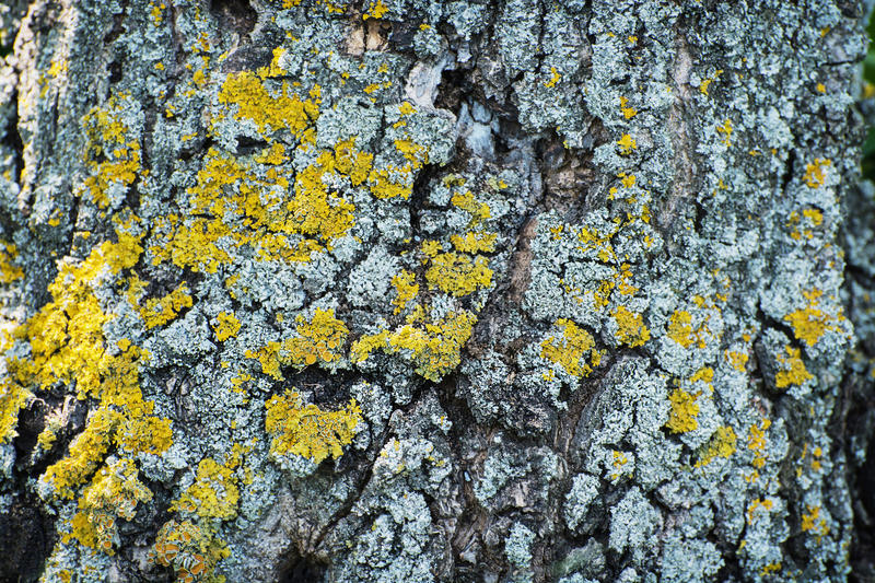 Yellow tree lichens. Tree bark with yellow lichens. Natural background stock images