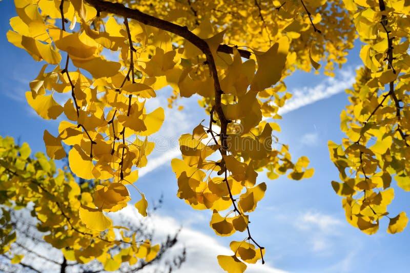 Yellow, Tree, Maidenhair Tree, Woody Plant stock photo