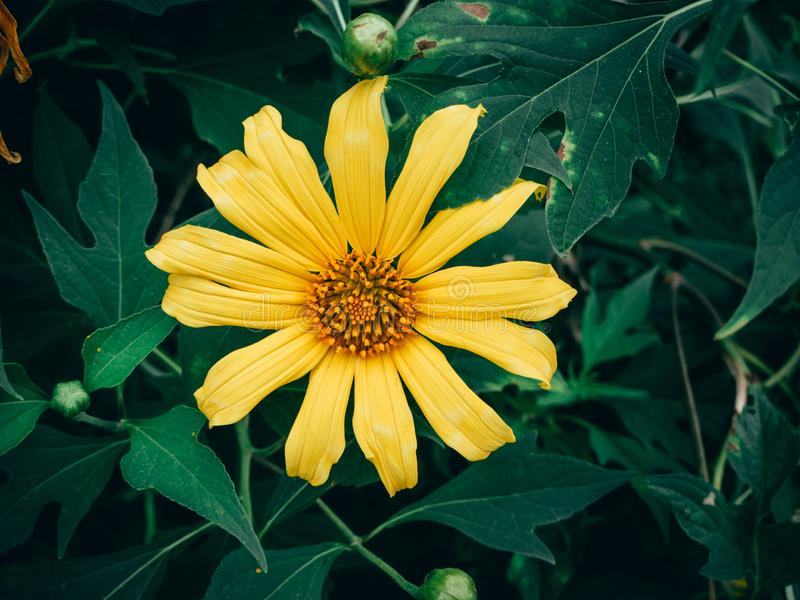 Yellow Tree marigold, Mexican tournesol, Mexican sunflower, Japanese sunflower stock photography
