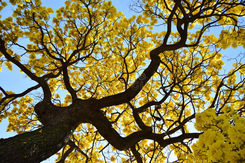 Yellow tree stock images
