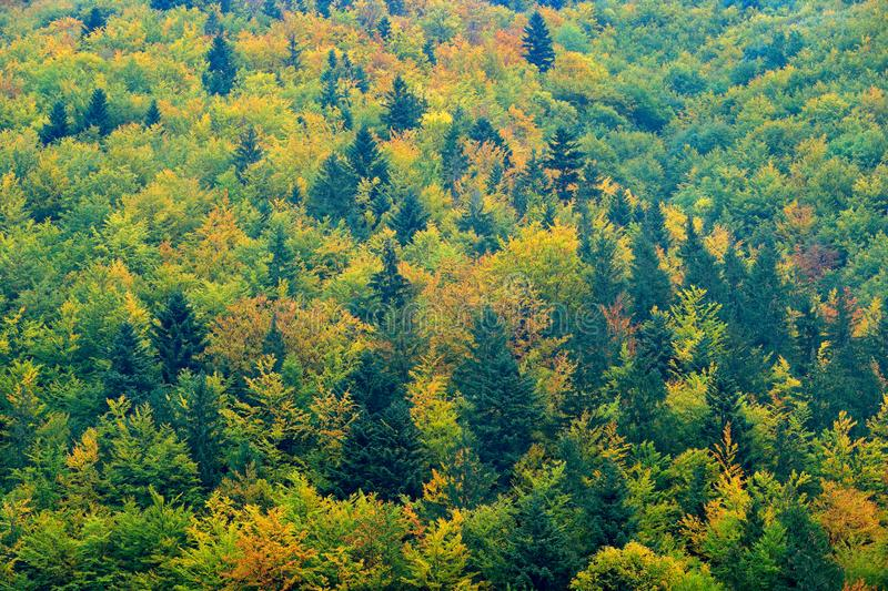 Yellow trees. Autumn forest, many trees in hills, orange oak, yellow birch, green spruce, Mala Fatra mountain, Slovakia. Beautiful stock images