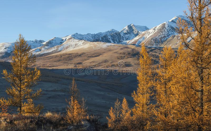 Yellow trees on a background of snow-capped peaks and blue sky stock images