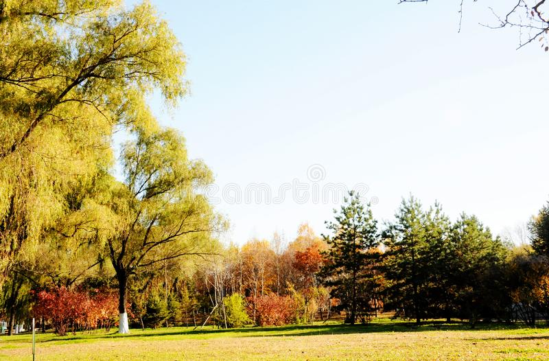 The yellow trees and dry grassland royalty free stock images