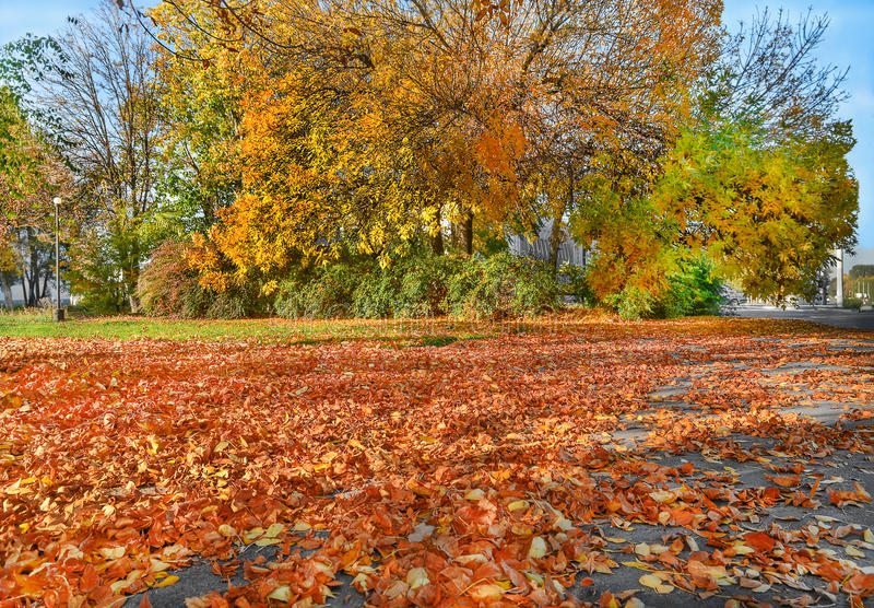 Yellow trees, fallen golden leaves royalty free stock photography