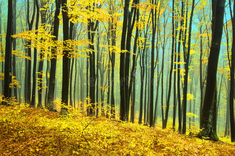 Yellow Trees In A Foggy Forest During Fall Stock Photo