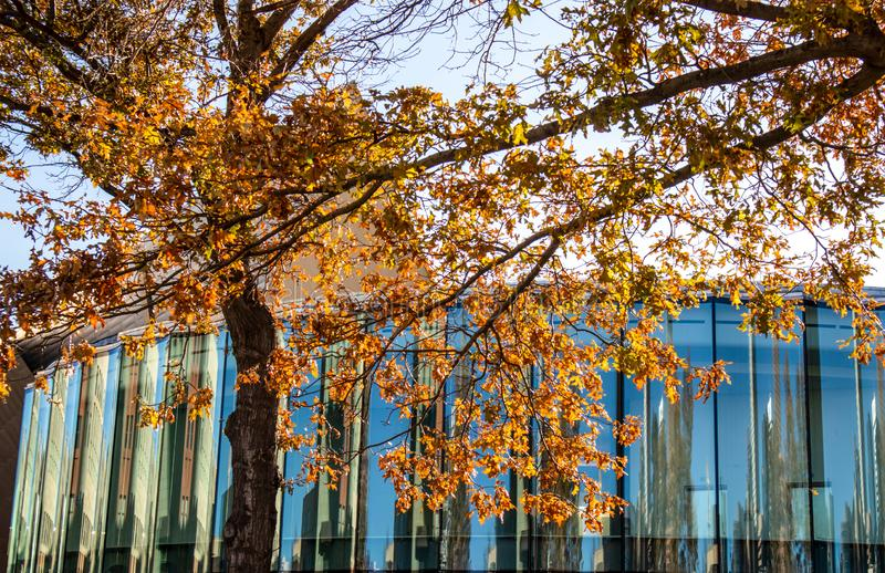 Yellow trees and glass building with reflections. Autumn yellow trees and glass building with reflections stock photos