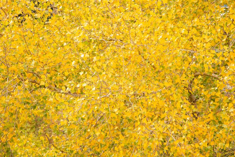 Yellow trees leaves in autumn day. Pattern stock photo