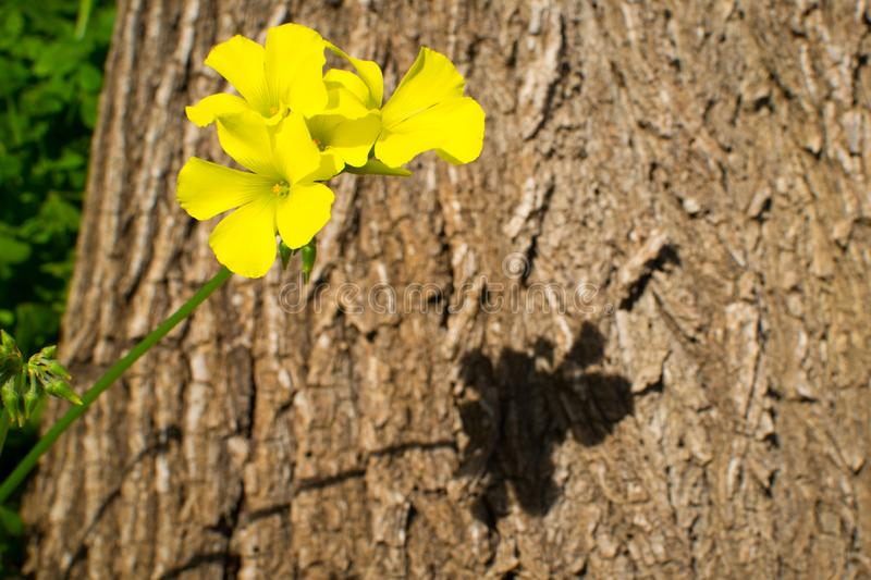 Yellow trefoil flower. Against the background of a tree trunk royalty free stock photos