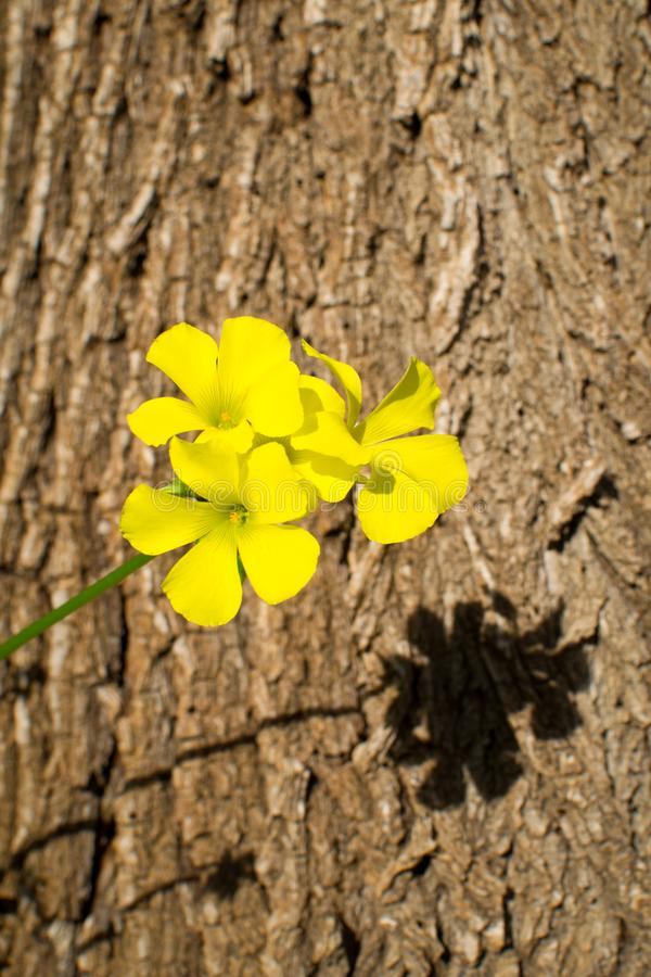 Yellow trefoil flower. Against the background of a tree trunk royalty free stock photo