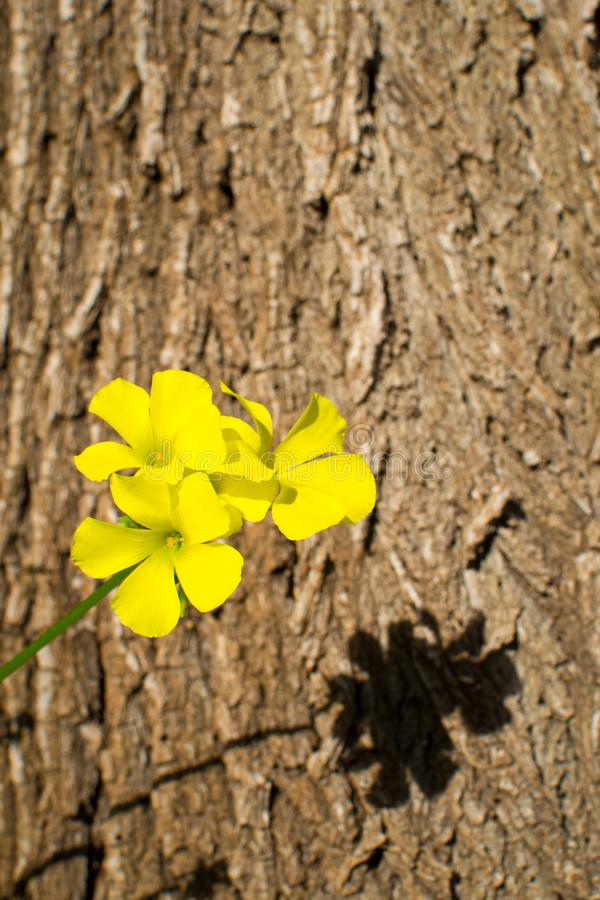 Yellow trefoil flower. Against the background of a tree trunk royalty free stock image