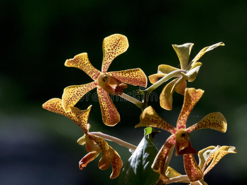 Yellow Trichoglottis orchid close up royalty free stock photography