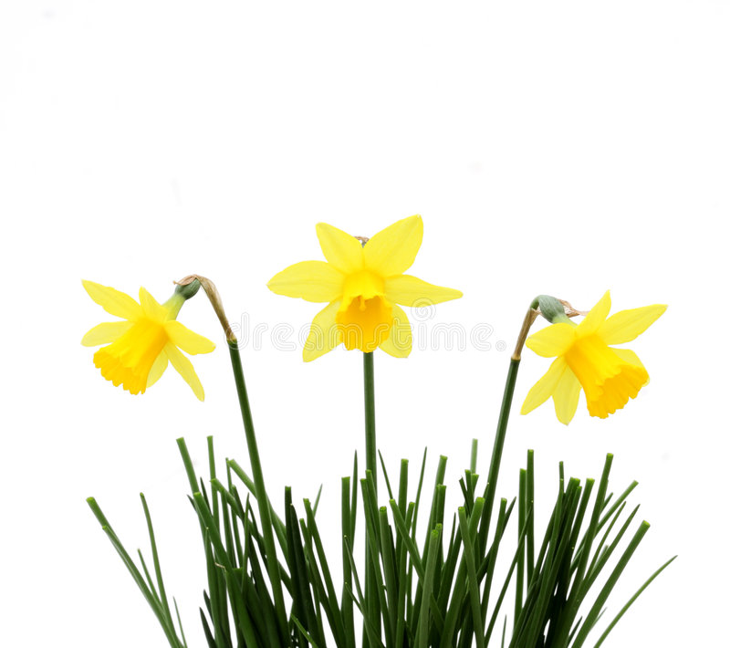 Download Yellow trio stock image. Image of flower, birthday, green - 4694437