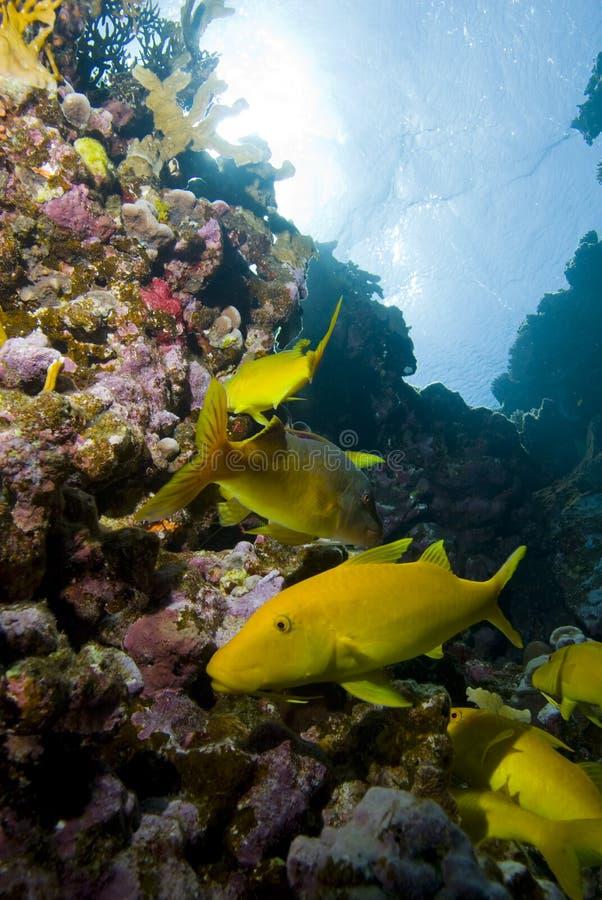 Free Yellow Tropical Fish Royalty Free Stock Image - 13853436