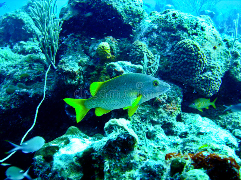 Yellow Tropical Fish. In the carribean sea stock photo