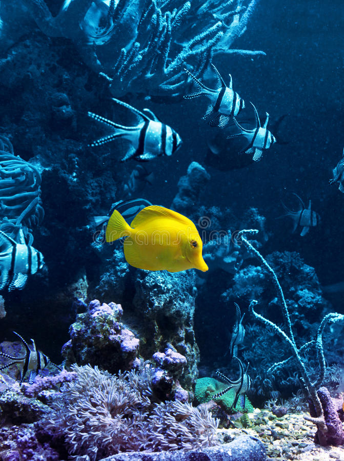 Yellow tropical fish in blue stock photo