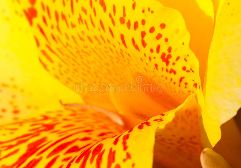 Yellow tropical flower with red dots in center. Canna lily stamen and petals macro photo. stock photo
