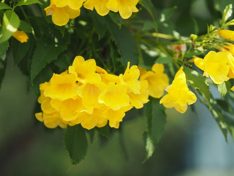 Yellow trumpet flower, ellow elder, Trumpetbush, Tecoma stans blurred of background beautiful in nature Flowering into a bouquet o. F flowers at the end of the royalty free stock image