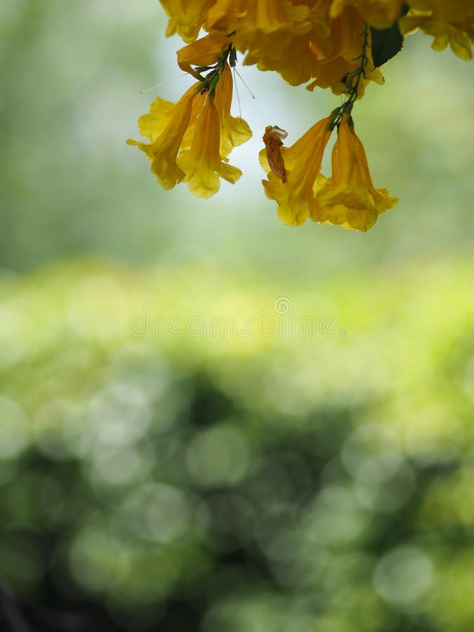 Yellow trumpet flower, ellow elder, Trumpetbush, Tecoma stans blurred of background beautiful in nature Flowering into a bouquet o. F flowers at the end of the royalty free stock photos