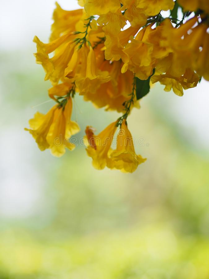 Yellow trumpet flower, ellow elder, Trumpetbush, Tecoma stans blurred of background beautiful in nature Flowering into a bouquet. Of flowers at the end of the royalty free stock photo