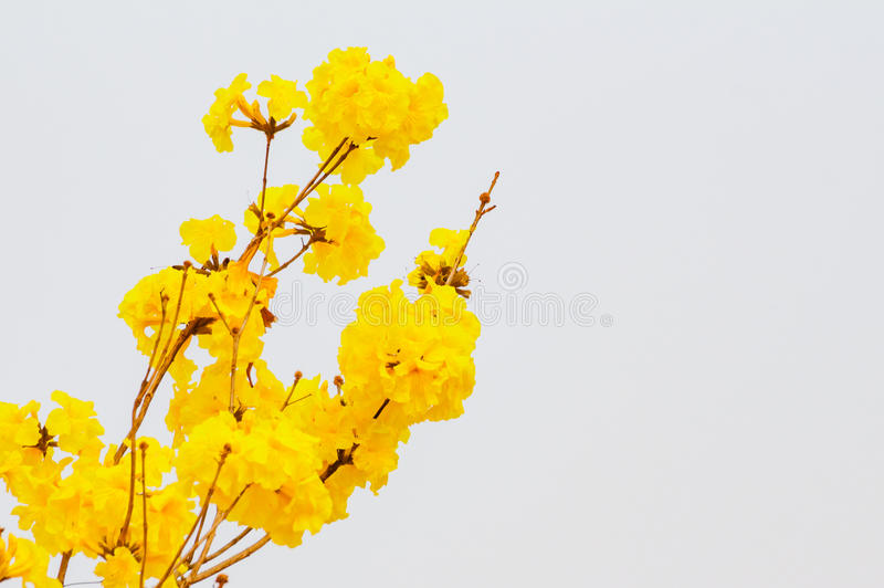 The yellow trumpet flower stock image