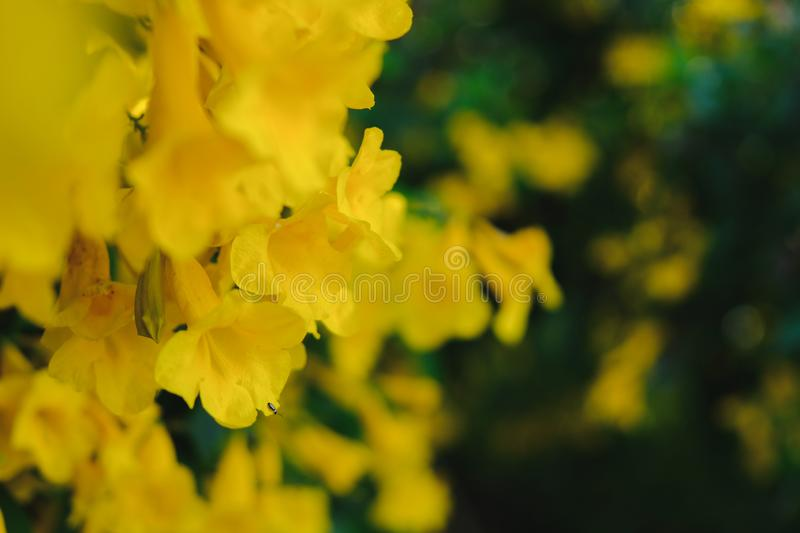 Yellow trumpet flower on the tree royalty free stock images