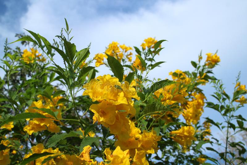 Yellow trumpet-flower,Trumpetbush (Tecoma stans) blooming in the. Yellow trumpet-flower,Trumpetbush (Tecoma stans) blooming under the royalty free stock photo