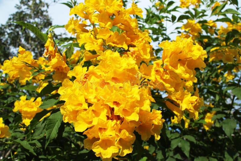 Yellow trumpet-flower,Trumpetbush (Tecoma stans) blooming in the. Yellow trumpet-flower,Trumpetbush (Tecoma stans) blooming under the stock photo