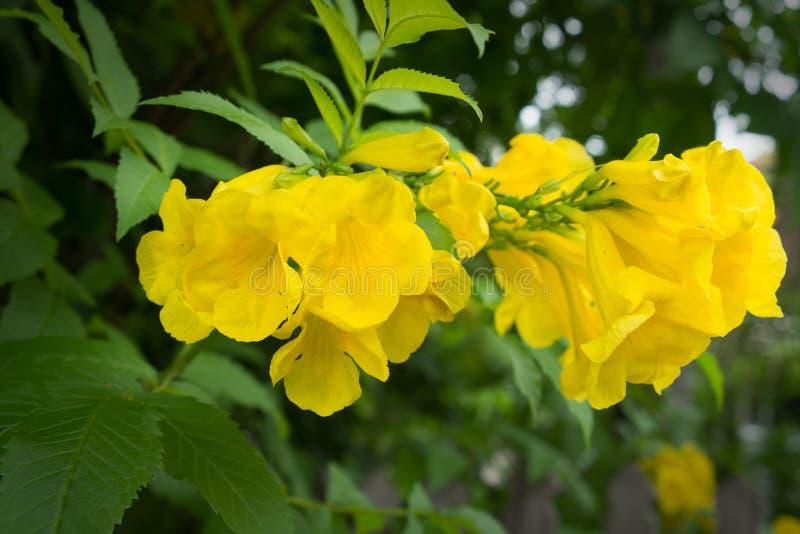Yellow trumpetbush. Yellow elder, Trumpetbush, Trumpetflower, Yellow trumpet-flower royalty free stock photography
