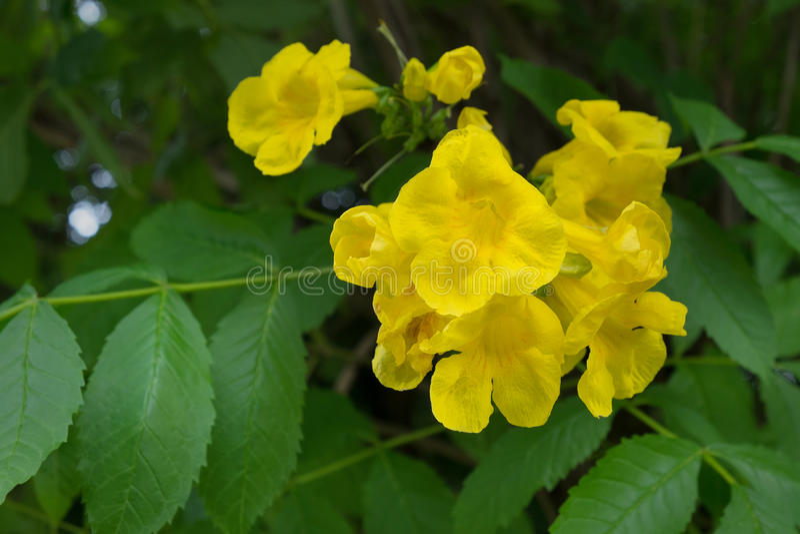 Yellow trumpetbush. Yellow elder, Trumpetbush, Trumpetflower, Yellow trumpet-flower stock image