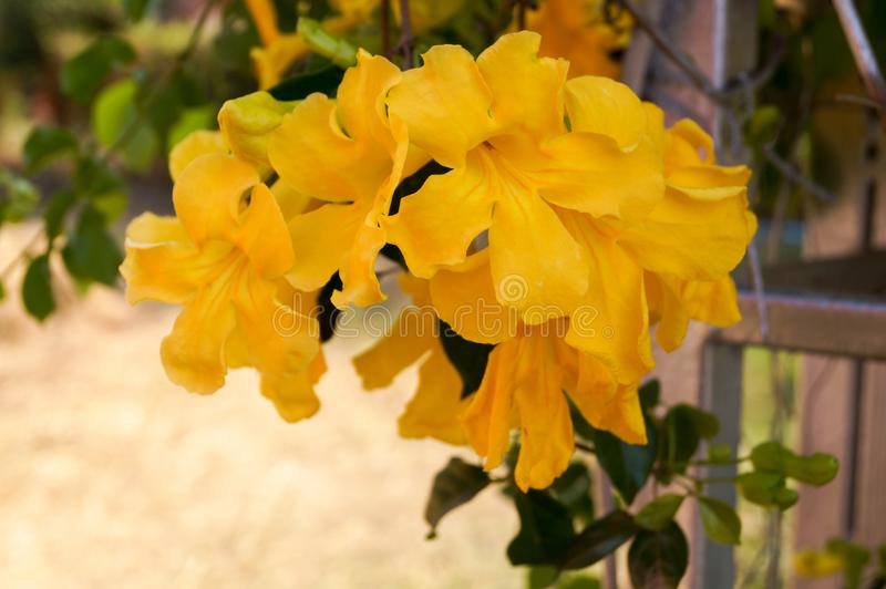 Yellow trumpetbush flower are blooming. The yellow trumpetbush are blooming and flowering together into a bouquet in garden stock photography