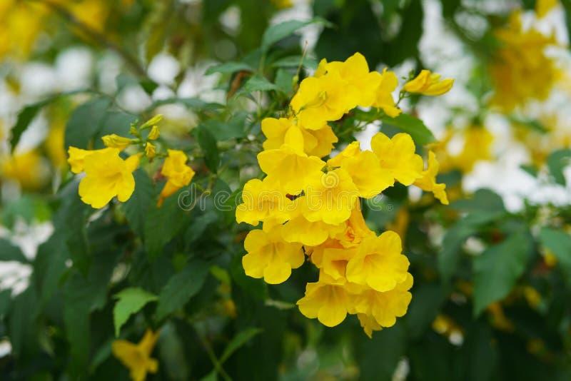 Yellow trumpetbush flower in the garden. Yellow trumpetbush flower Tecoma stans in the garden stock image