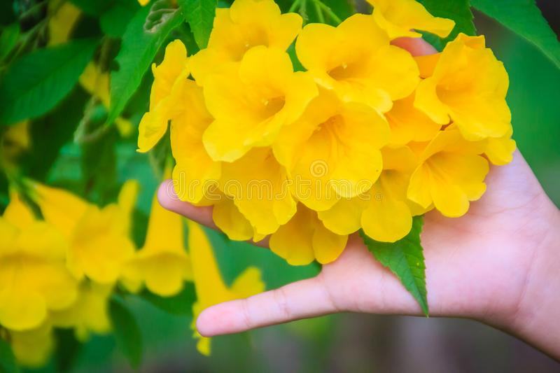 Yellow trumpetbush flower (Tecoma stans) in the garden. Tecoma stans is a species of flowering perennial shrub in the trumpet vine. Family, also known as yellow royalty free stock photos