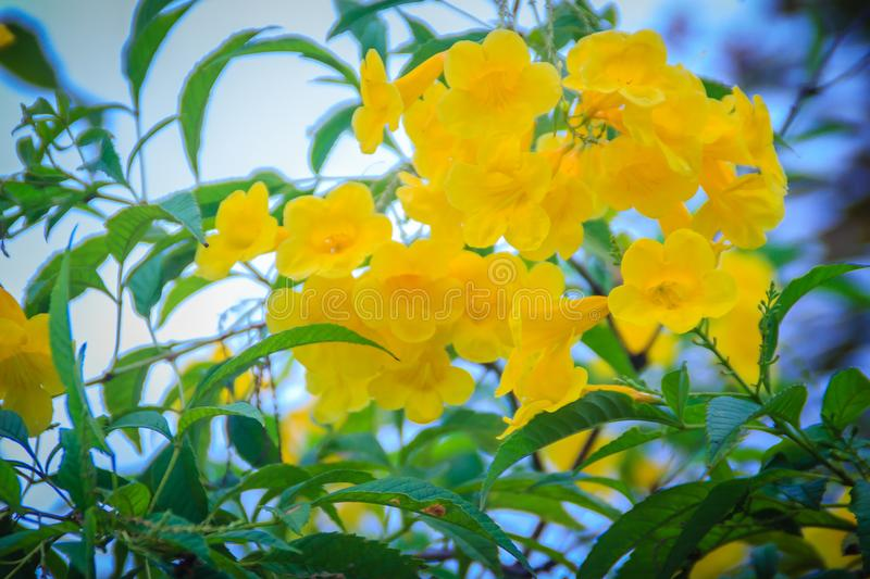 Yellow trumpetbush flower (Tecoma stans) in the garden. Tecoma stans is a species of flowering perennial shrub in the trumpet vine. Family, also known as yellow stock images