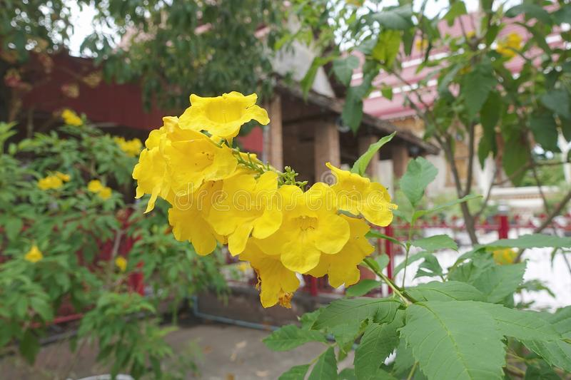 Trumpetbush flower in the temple. Yellow trumpetbush flower or Tecoma stans on garden in Thailand royalty free stock photos